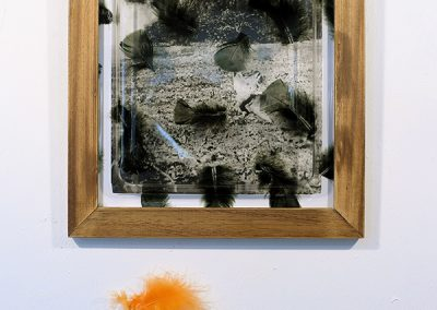 A wing shot, photo montage, détail d'une photo de R H Young de 1902 + Plume et plexiglas, 43x39cm, 2011